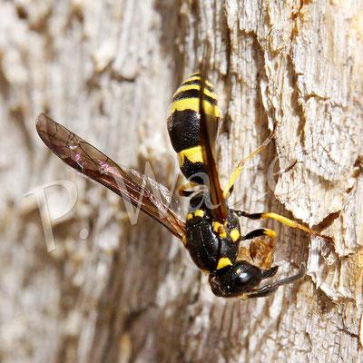 07.06.2015 : Solitärwespe nagt sich Holzfasern aus dem Robinen-Nistholz