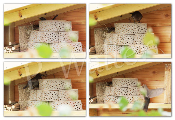 10.05.2014 : eine Amsel hat eine Nische in der Wildbienenwand für sich entdeckt ...