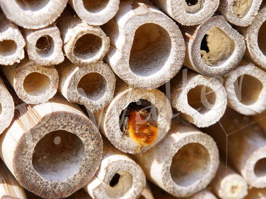 25.03.2017 : Gehörnte Mauerbiene, Weibchen, Osmia cornuta, bei der Nistplatzsuche