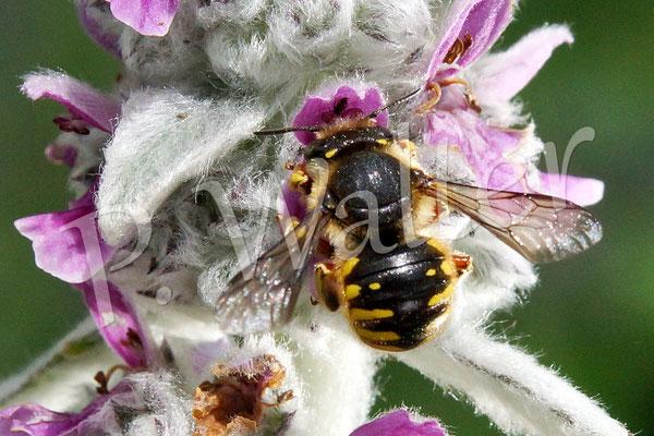 28.06.2015 : Wollbiene am Woll-Ziest, eins von nun bereits drei/vier Männchen ...