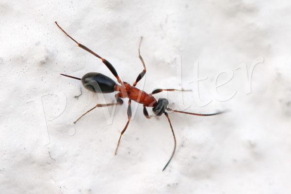 21.05.2014 : eine flügellose Stechimme (Schlupfwespenart ?) mit dem Aussehen einer Ameise (an der Hauswand)