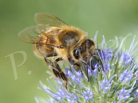 14.08.2016 : Honigbiene an einer Distelblüte