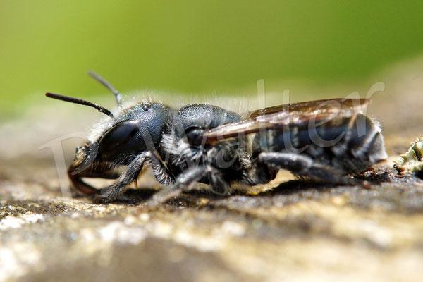 02.06.2014 : Stahlblaue Mauerbiene - Weibchen
