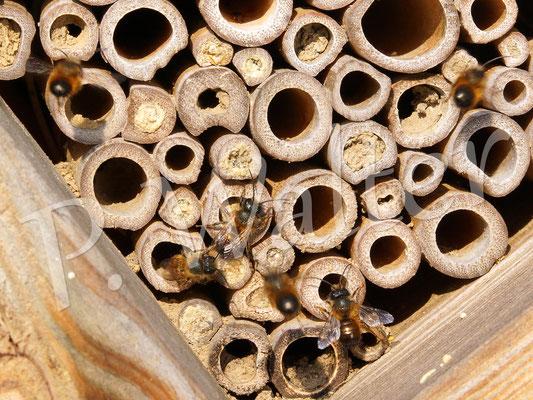 01.04.2017 : Männchen der Rostroten Mauerbiene warten auf die Weibchen ...