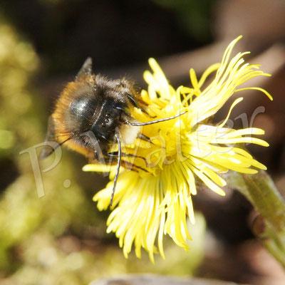 03.04.2018 : Männchen der Gehörnten Mauerbiene an einem Huflattich