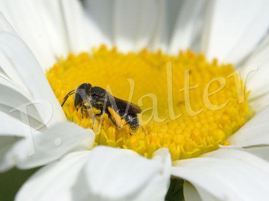 22.06.2016 : Löcherbiene, Weibchen an Margerite