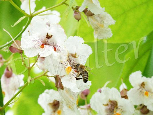 10.07.2017 : Honigbiene an den Blüten des Catalpa