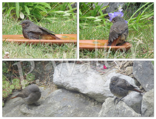 20.06.2015 : junge Rotschwänzchen beim Wasserbad