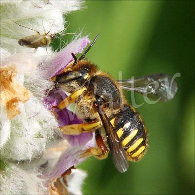 22.06.2016 : Garten-Wollbiene, Weibchen am Woll-Ziest