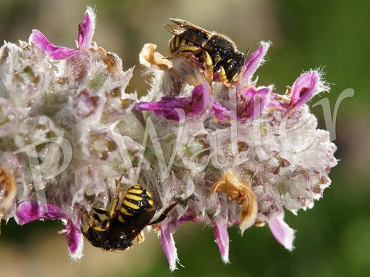 29.07.2015 : Garten-Wollbienen, die vom Regen überrascht wurden (der Woll-Ziest neigte sich durch den Regen so runter, Foto steht nicht Kopf)