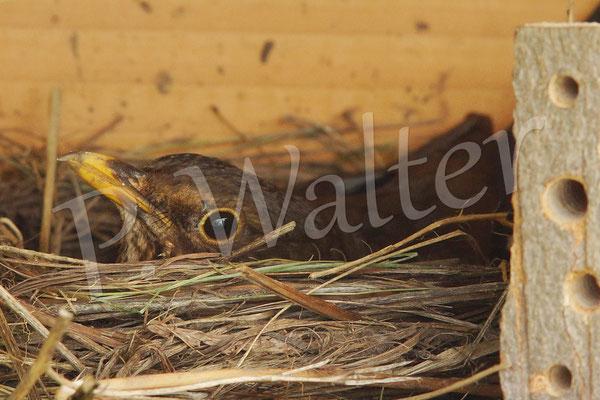 """19.05.2014 : """"unsere"""" Amsel, die nun nur noch sehr selten ihr Nest kurz verlässt"""