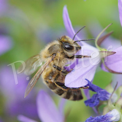 28.06.2014 : Honigbiene an Glockenblume