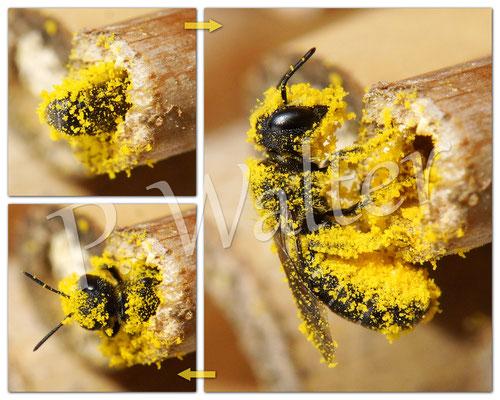 """18.07.2015 : dieses """"Pollenmonster"""" ist wahrscheinlich eine Löcherbiene ..."""