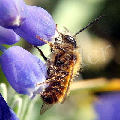 08.04.2018 : Rostrote Mauerbiene, Männchen, an einer Traubenhyazinthe