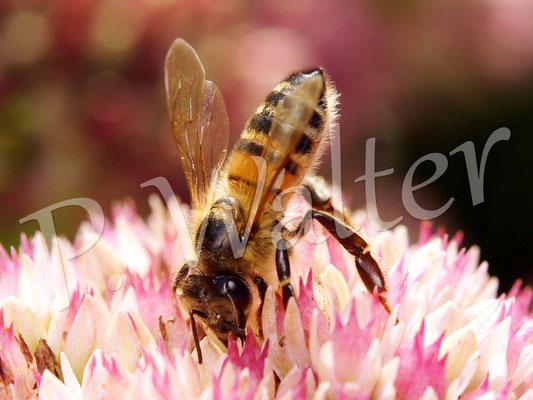 03.09.2014 : Honigbiene auf der Fetten Henne