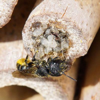 03.09.2017 : Löcherbiene vor dem Nistverschluss einer Scherenbiene (nicht aus Harz und mit eingebauten Steinchen)