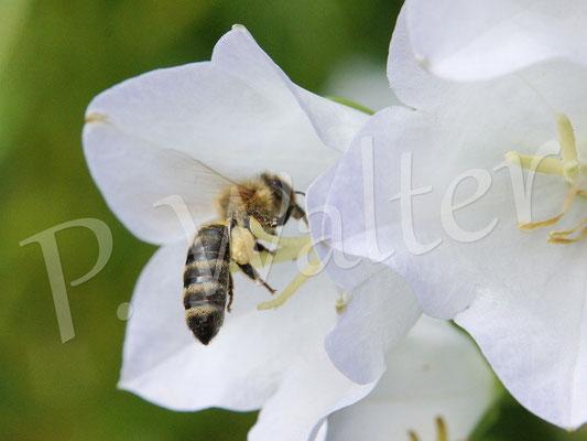 21.06.2015 : Honigbiene landet auf / in einer Glockenblumenblüte