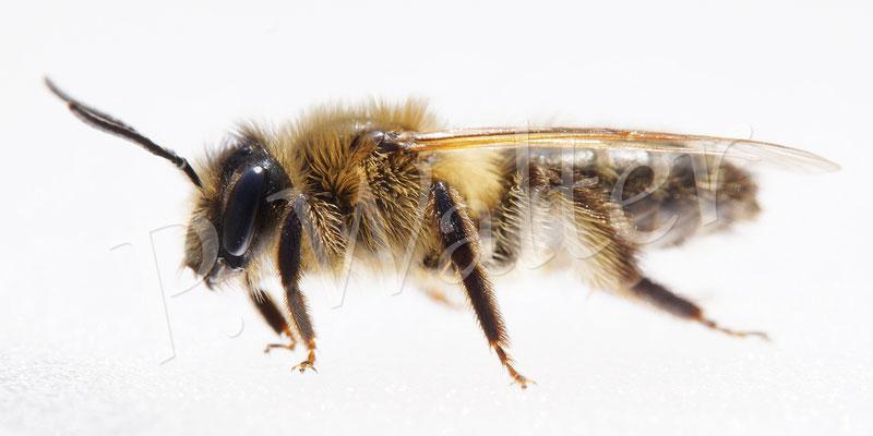 01.05.2016 : SGlänzende Düstersandbiene, Andrena nitada, sie ist auf meinem Fotolicht gelandet ...