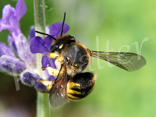 11.06.2016 : Garten-Wollbiene, Anthidium manicatum, am Lavendel