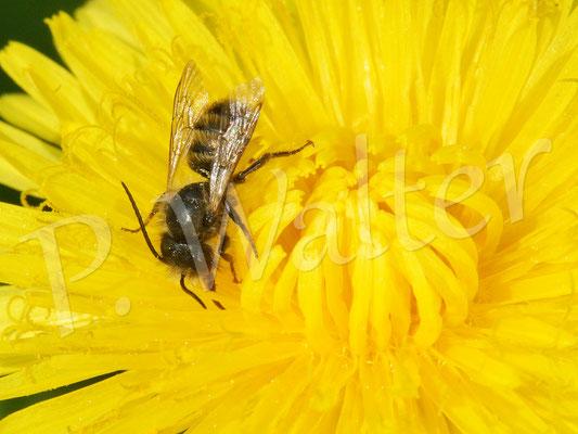 29.04.2018 : Männchen der Rostroten Mauerbiene am Löwenzahn