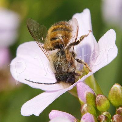 01.05.2016 : Rostrote Mauerbiene am Wiesenschaumkraut