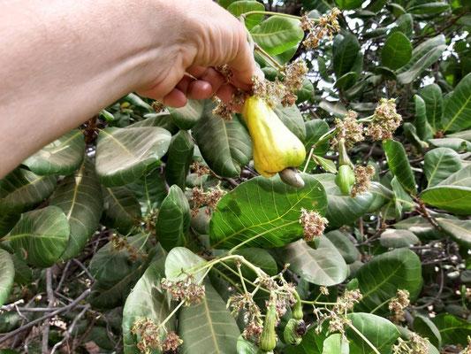 Cashew-Frucht mit Nuss am Baum