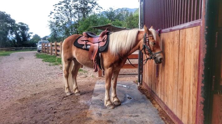 Peer.tv Haflinger Pferd gesattelt