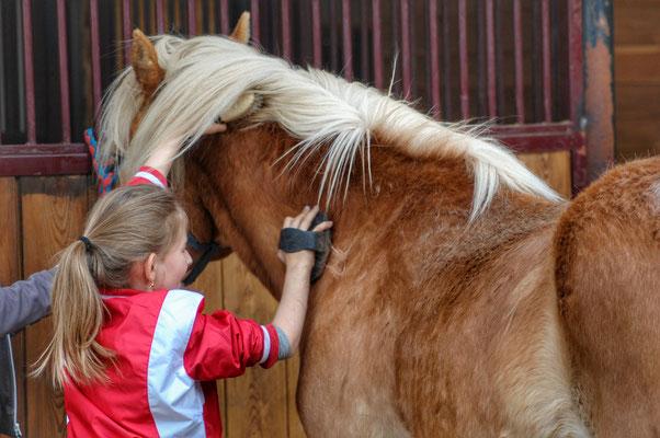Das Striegeln und die Pflege eines Pferdes, gehört zu dem Aufgaben der Reitschüler Haflinger