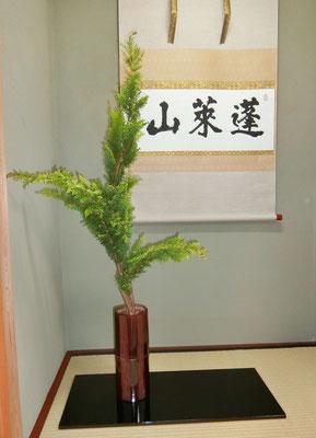 雅柔   孔雀檜葉
