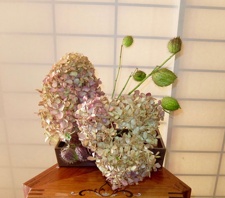 川上雅櫻 紫陽花ライムライト リューカデンドロン 風船唐綿