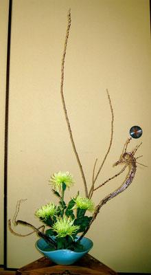 石化柳 洋菊