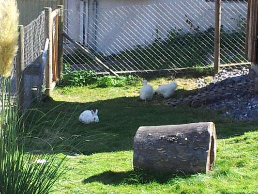 ...Seidenhühner und Hasen zusammen...