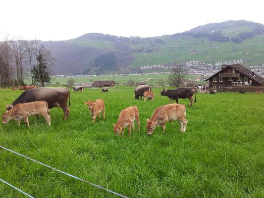 Unser Vieh beim Weiden zuhause