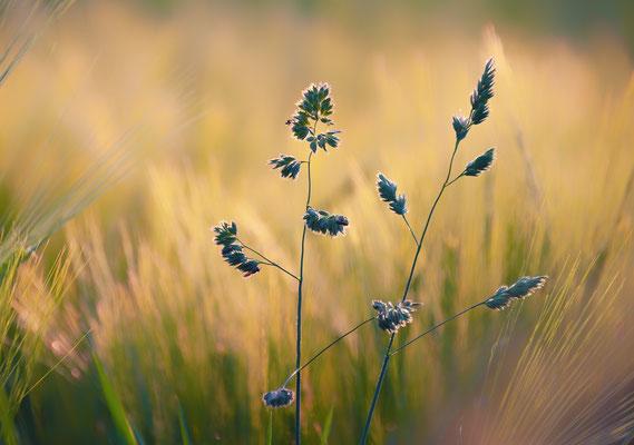 "Abends am feldrand, Annahme d-pixx-Fotograf 4/2020 Freies Thema, Annahme beim fotoforum Award 5/2020 Pflanzen, Kategorie ""Im Gegenlicht"""