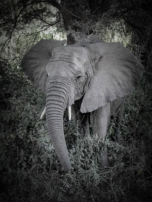 Junger Elefantenbulle, Annahme d-pixx-Fotograf 3/2017 Tiere