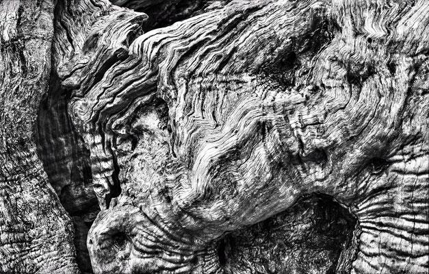 "knorrig, Lobende Erwähnung fotoforum Award 4/2015 Pflanzen, Kategorie ""In freier Natur"""