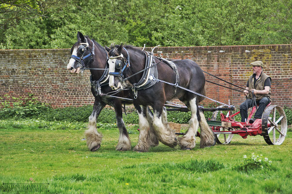 Royal and Aragon, Shire Horses