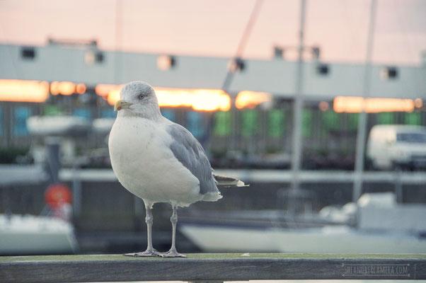 Seagull at Montgomerydok