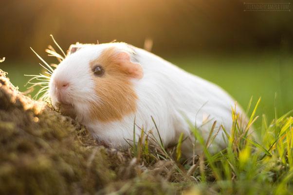 Guinea-Pig Frankie