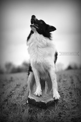 Leo (Border Collie)