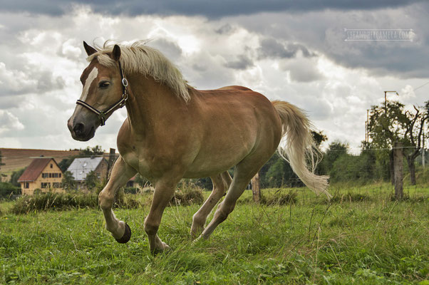Apollo, Haflinger