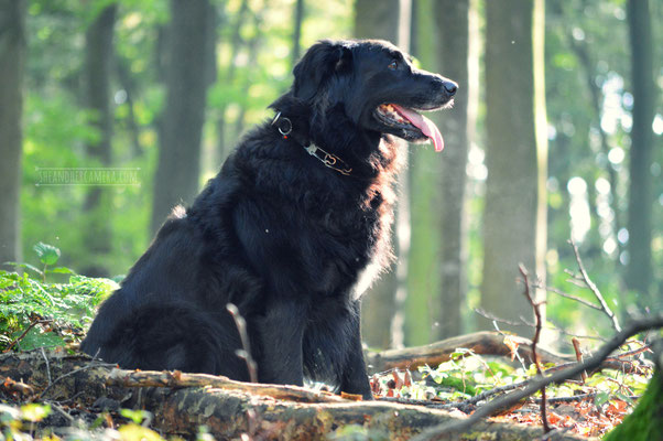 Laila (Flat-Coated Retriever)