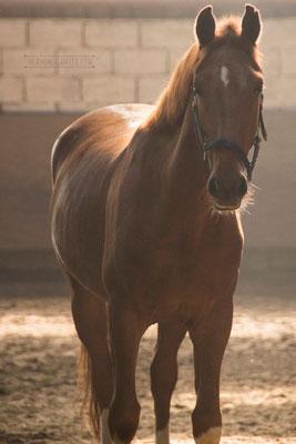 Gelderland Horse