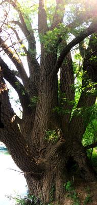 Silber Weide (Salix alba L.), Rote Liste Status: 10 noch nicht bestimmt, Bild Nr.549, Aufnahme von Nikolaus Eberhardt (21.5.2018)