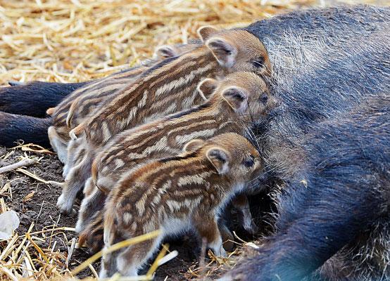 Wildschwein (Sus scrofa), Frischlinge, evtl. 10 Tage alt,  Rote Liste Status: 10 noch nicht bestimmt, Bild Nr.46, Aufnahme von Andreas Bräuning