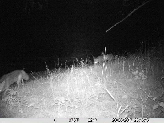 Fuchs (Canidae), Familie,  Rote Liste Status: 10 noch nicht bestimmt, Bild Nr.536, Aufnahme von bekannt (20.6.2017), Fundort: Nördl. Baggersee Süd
