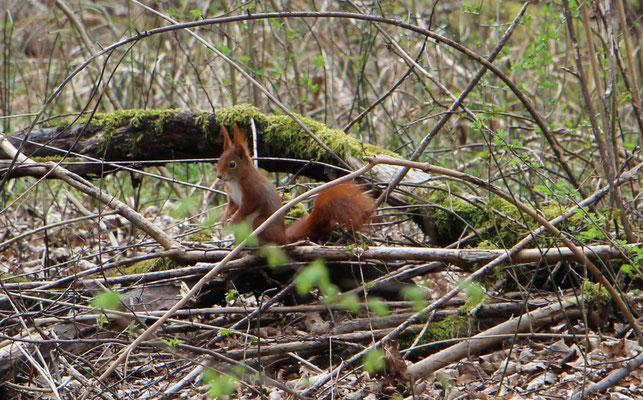 Eichhörnchen (Sciurus vulgaris), Rote Liste Status: 10 noch nicht bestimmt, Bild Nr.71, Aufnahme von Nikolaus Eberhardt (11.4.2015)