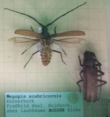 Körnerbock (Megopis scabricornis), Setzkasten des ForstBW,  RoteListe: 1 vom Aussterben bedroht, Bild Nr.327, Bild v. Nick E.