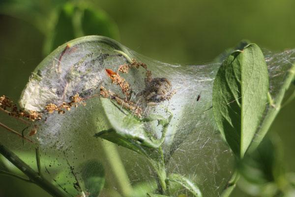 Traubenkirschen-Gespinstmotte (Yponomeuta evonymella), Raupe,  Rote Liste Status: 10 noch nicht bestimmt, Bild Nr.377, Aufnahme von Nikolaus Eberhardt (23.4.2017)