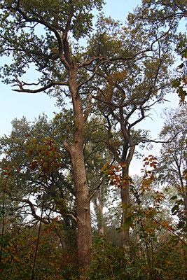 Eiche (Quercus), Rote Liste Status: 10 noch nicht bestimmt, Bild Nr.53, Aufnahme von Nikolaus Eberhardt (18.10.2015)